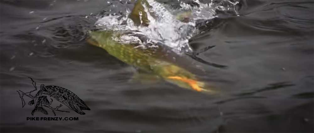 Read more about the article Topwater Pike Fishing